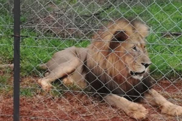 <p>WOMAN MAULED BY LIONS</p>